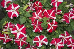 Red and white petunia flowers. With green leaves royalty free stock photography