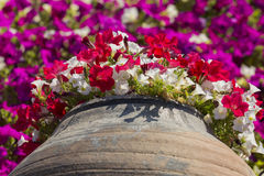 Red and white petunias growing out from pot. Red and white petunias growing out from old pot Royalty Free Stock Images