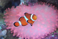 Red, white and pink. Red and white fish in front of pink flower Royalty Free Stock Images