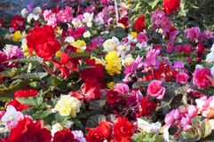 Red, white, pink bright flowers Stock Image