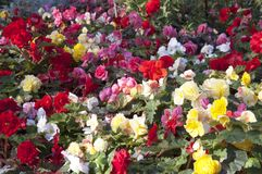 Red, white, pink bright flowers Stock Photography