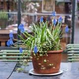 Blue grape hyacinth muscari plant in the greenhouse cafe at Petersham Nurseries, Richmond, west London.