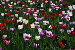Red, white and pink tulips in Gorky park in Moscow. White and pink tulips in Gorky park in Moscow. Springtime landscape stock images