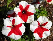 red-and-white pinwheel petunias Stock Photography