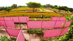 Red white plaid cloth labyrinth. The red white plaid cloth labyrinth in the cosmos flower field Stock Photos