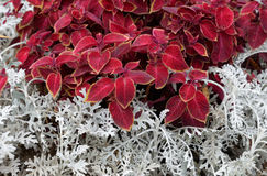 Red and white plant background. Stock Images