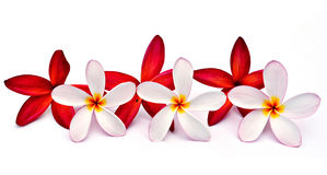 Red and white Plumeria. Plumeria flowers and leaf isolated on white background Stock Photos