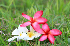 Red and White Plumeria flowers beautiful Stock Photo
