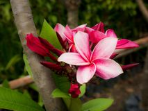 Red White Plumeria Flowers Blooming stock image