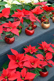 Red and white poinsettia flowers Royalty Free Stock Photos