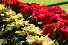 Red and White Poinsettia Garden Royalty Free Stock Images