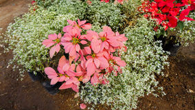 Red and white Poinsettia. Red Poinsettia surrounded by white Poinsettia in the flower farm Stock Images
