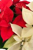Red and white poinsettias stock photo
