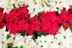 Red and white poinsettias. Royalty Free Stock Photography