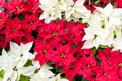 Red and white poinsettias. Stock Image