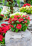 Red and white poinsettias, Christmas flowers Royalty Free Stock Photo