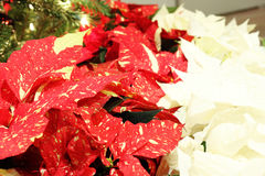 Red and White Poinsettias by Christmas Tree. Image of red and white poinsettias by a Christmas tree Royalty Free Stock Photo