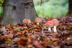 The red and white poisonous toadstool or mushroom called Amanita Muscaria or Fly Agaric. Fly agaric; Amanita muscaria; Two toadstools, symbol of luck; White royalty free stock photos
