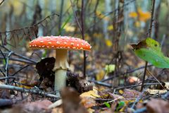 The red and white poisonous toadstool or mushroom called ly Agaric. The red and white poisonous toadstool or mushroom called Amanita Muscaria or Fly Agaric stock image