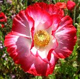 red-and-white poppy Stock Image