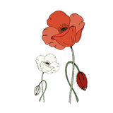 Red and white poppy flower and poppy bud  on white background Stock Photography