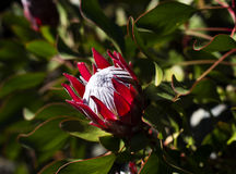 Red and white protea bloom Stock Images