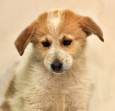 Red & white puppy Stock Image