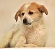 Red & white puppy Stock Images