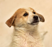 Red & white puppy Royalty Free Stock Photography