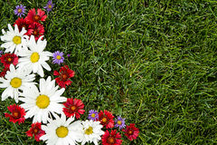 Red, white and purple daisies on grass Stock Photo