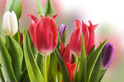 Red white and purple tulips Royalty Free Stock Photos
