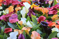 Red white  purple yellow and orange calla lilies Stock Photo