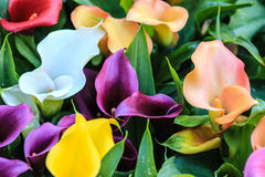 Red white purple yellow and orange calla lilies royalty free stock photos