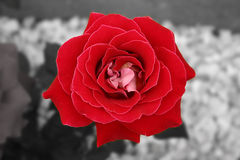 Red & white rose. Sinngle rose stock photography