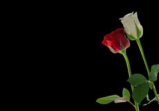 Red and white rose royalty free stock photography