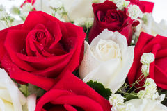 Red and white rose arrange together Royalty Free Stock Photo