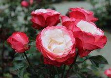 Red and white rose Stock Images