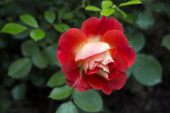 Red and white rose Stock Photography