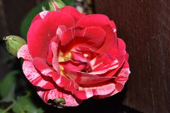 Red-white rose. Rose with red and white petals flourished in my garden Royalty Free Stock Images