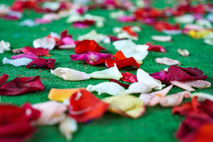 Red, white rose petals scattered on green carpet Royalty Free Stock Image