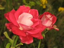 Red-white rose Stock Image