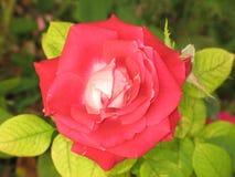Red-white rose Royalty Free Stock Photos