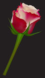 Red-White Rose - Vector Illustration Stock Photo