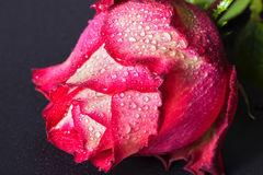 Red-white rose with water drops on a black background Stock Photos