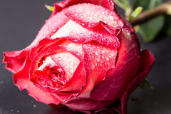 Red-white rose with water drops on a black background Stock Images