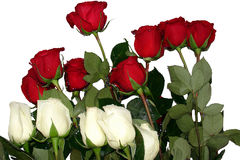 Red and white roses Royalty Free Stock Photography