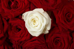 Red and white roses Stock Photography