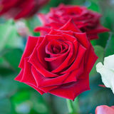 Red and white roses in garden Stock Image