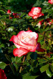 Red-white roses stock photos