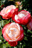 Red-white roses royalty free stock image